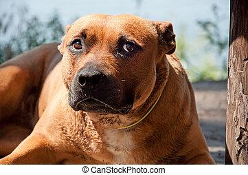 Portrait of Staffordshire Terrier