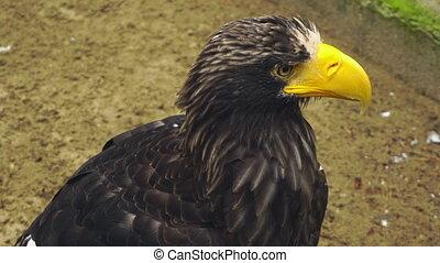 Portrait of Steller's sea eagle (Haliaeetus pelagicus)
