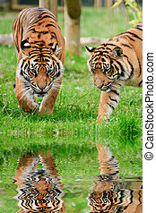 Portrait of Sumatran Tigers Panthera Tigris Sumatrae big cat in captivity reflected in calm water