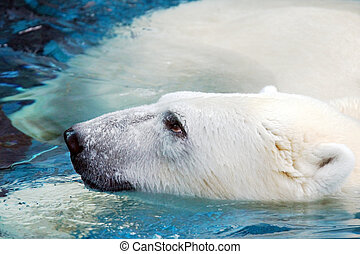 Portrait of swimming polar bear