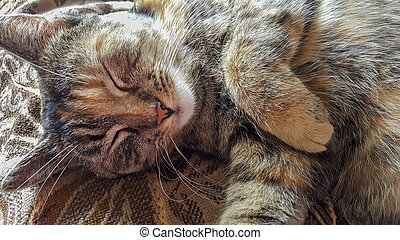 Portrait of tabby cat sleeping, close-up.