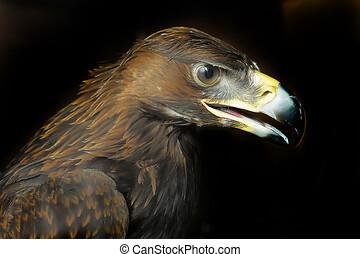 Portrait of Tawny Eagle (Aquila rapax) Over Dark Background