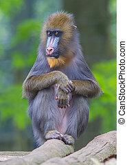 Portrait of the adult mandrill in it's natural habitat
