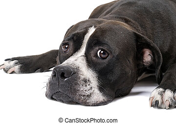 Portrait of the american staffordshire terrier. Isolated 2