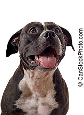 Portrait of the american staffordshire terrier. isolated