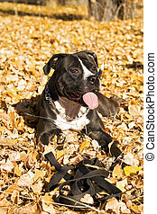 Portrait of the american staffordshire terrier laying on foliage