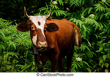 Portrait of the brown cow standing among trees