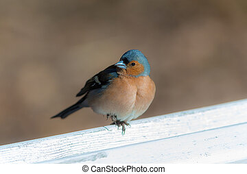 chaffinch on a white bench
