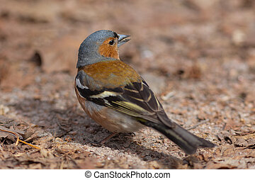Portrait of the chaffinch