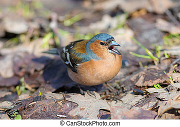 chaffinch on the ground closeup