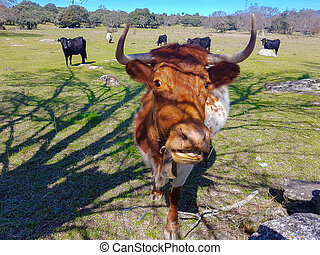 Portrait of the face of a cow