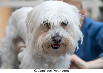Portrait of the head of groomed white dog