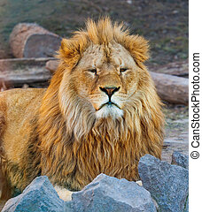 portrait of the king of beasts lion