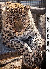 Portrait of the leopard