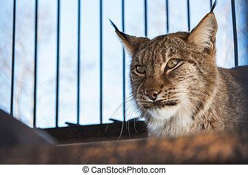 Portrait of the lynx