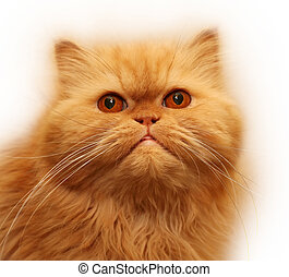 Persian cat - Portrait of the Persian cat on a white...