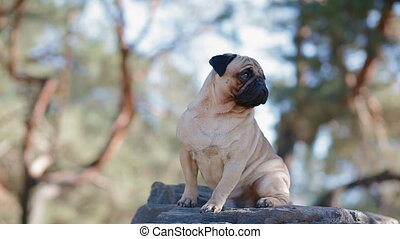 Portrait of the pug sitting on the rock in the park. Sunny...
