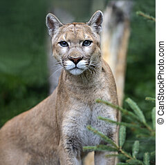 Puma - Portrait of the Puma in their natural habitat.