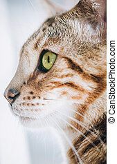 Portrait of the striped cat with beautiful green eyes