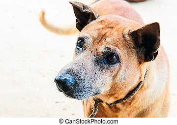 portrait of the thai dog with eye injury