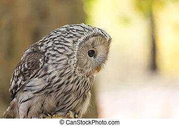 Portrait of The Ural owl, Strix uralensis.