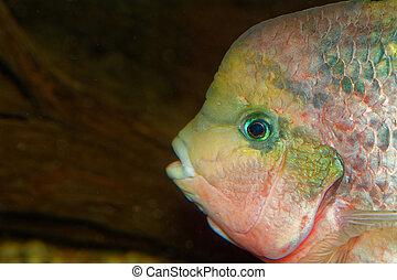 Portrait of the Vieja fish