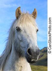 Portrait of thoroughbred Icelandic horse