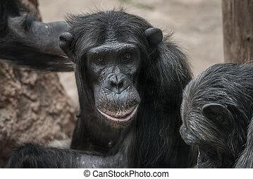 Portrait of thoughtful Chimpanzee. close up