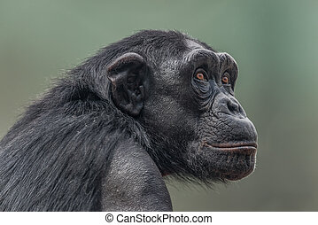 Portrait of thoughtful Chimpanzee. close up