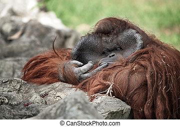 portrait of thoughtful  sad orangutan in summer invironment