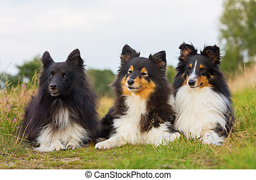 portrait of three Sheltie dogs in a row