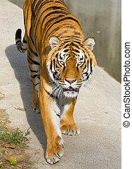 Portrait of Tigers