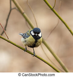 tit on a green branch