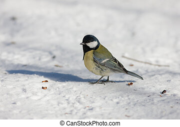 tit on the snow