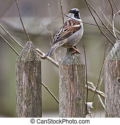 Portrait of tree sparrow standing on a wooden fence
