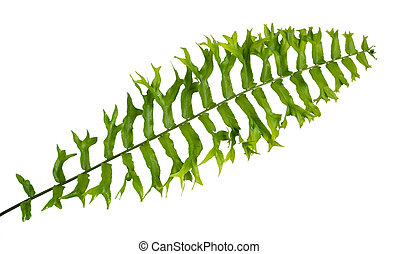 Portrait of tropical leaves of Nephrolepis Exaltata with isolated background