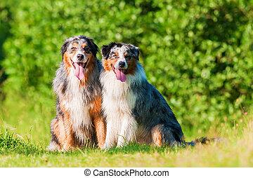 portrait of two Australian Shepherd dogs