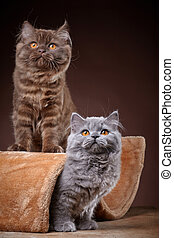 portrait of two british longhair kittens