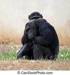 Portrait of two Chimpanzees grooming each other