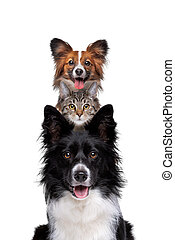 Portrait of two dogs and one cat piled up vertically