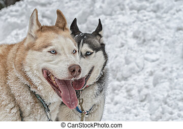 Portrait of two husky dogs on snow