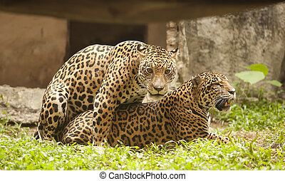 Portrait of two Leopard (Tiger)