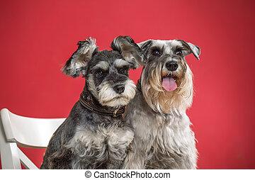 Portrait of two miniature schnauzer dogs