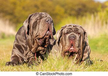 portrait of two Neapolitan Mastiff outdoors