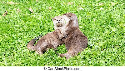 Portrait of two oriental short clawed otters cuddling