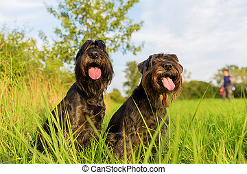 Portrait of two schnauzer dogs outdoors