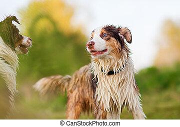 portrait of two wet Australian Shepherd dogs