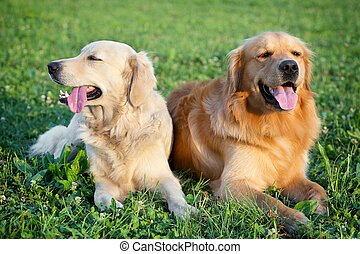 Portrait of two young beauty dogs - Portrait of two young...