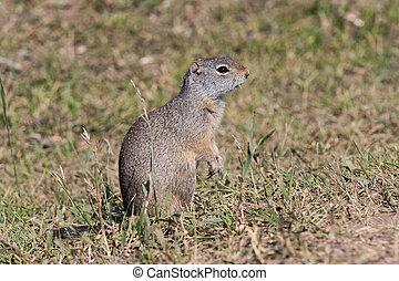 Portrait of typical marmot in Grand Teton