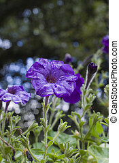 Portrait of violet petunia after summer rain